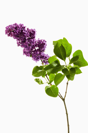 lilac: Lilac with stem and leaves Stock Photo