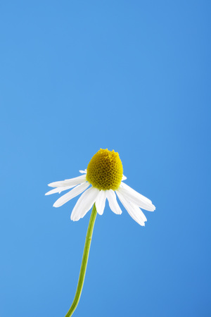 matricaria: Matricaria chamomilla, chamomile against blue sky Stock Photo