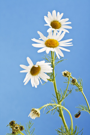 chamomilla: Matricaria chamomilla, chamomile against blue sky Stock Photo