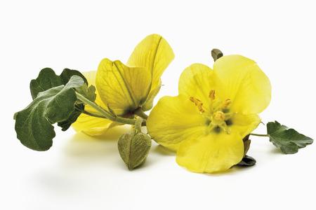 primroses: Yellow evening primroses