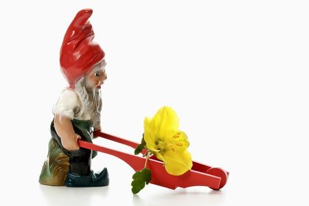 nain de jardin: Garden gnome poussant brouette