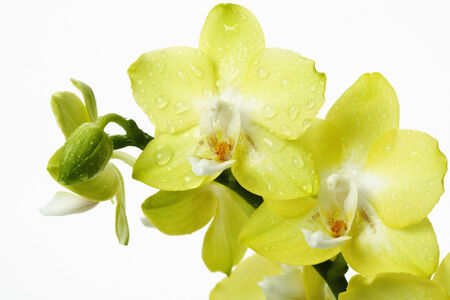 wit: Yellow orchids wit waterdrops