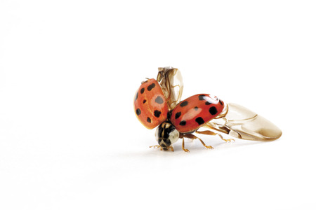 Ladybirds opening wings