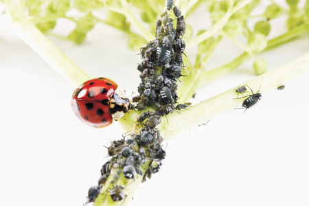 coccinellidae: Ladybirdr (Coccinellidae)  and aphids (Sternorrhyncha) on elderflower stem (Sambucus nigra) Stock Photo