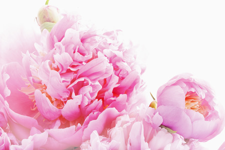 peonies: Pink peonies Stock Photo