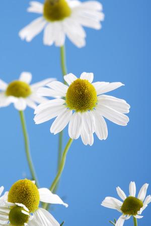 chamomilla: Matricaria chamomilla, chamomile against blue sky Stock Photo