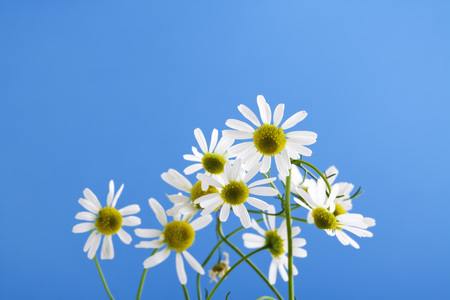 matricaria recutita: Matricaria chamomilla, chamomile against blue sky Stock Photo