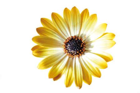 african daisy: Yellow flower head of African daisy Stock Photo