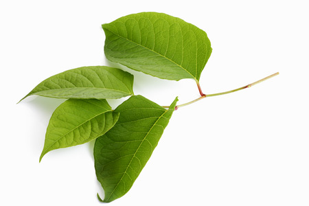 japanese people: Japanese knotweed, Fallopia japonica