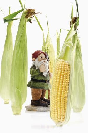 gnome: garden gnome between corn cobs Stock Photo