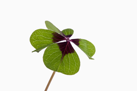Four leaved clover photo