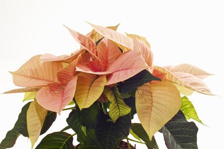 christma: Pink poinsettie, Euphorbia pulcherrima