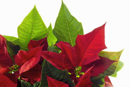 pulcherrima: Poinsettie, Euphorbia pulcherrima Stock Photo