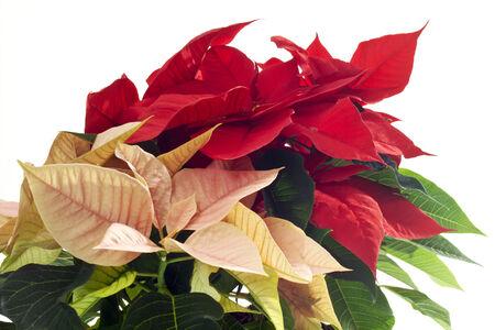 pulcherrima: Red and pink poinsettie, Euphorbia pulcherrima