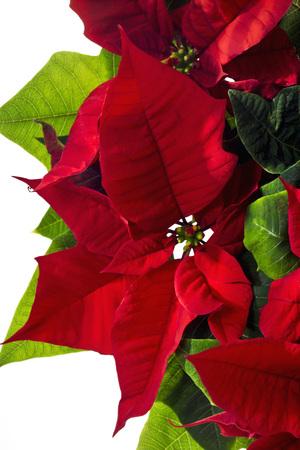 christma: Poinsettie, Euphorbia pulcherrima Stock Photo
