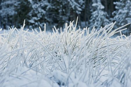 differential focus: Austria, Salzburg, Blades of grass covered in snow Stock Photo