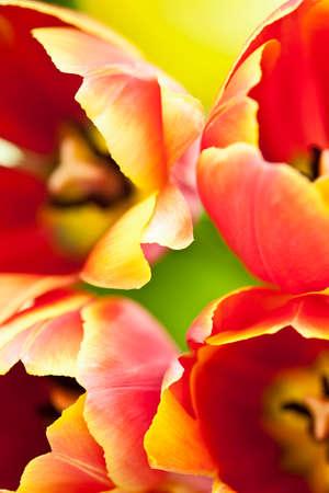 bicolored: Tulips (Tulipa), close-up