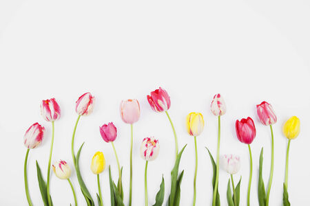 hilera: Tulipanes de colores contra el backround blanco