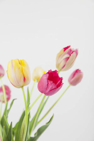 against white: Colorful tulips against white backround Stock Photo