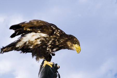 bald eagle: Hellenthal Bald Eagle close-up