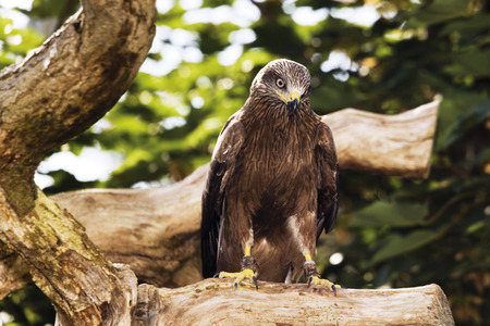 black kite: Black Kite in zoo