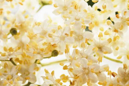 differential focus: Close up of elder flower against white background