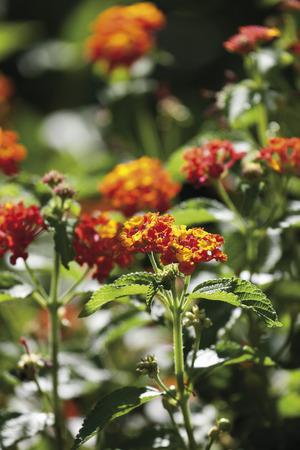 fragility: Germany, Verbenaceae flower, close up