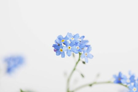 tender tenderness: Forget-me-not, blue blossoms