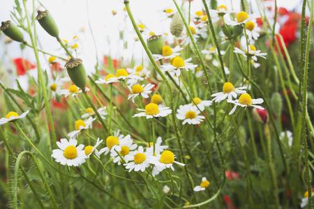 german chamomile: Germany, North Rhine-Westphalia, Chamomile and poppies, wildflowers