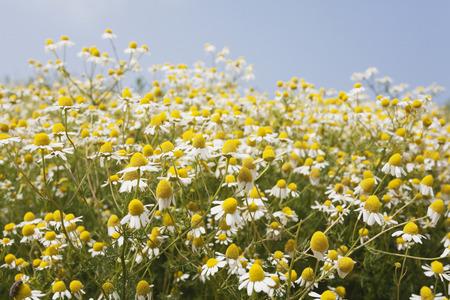 matricaria recutita: Germania, Nord Reno-Westfalia, Camomilla