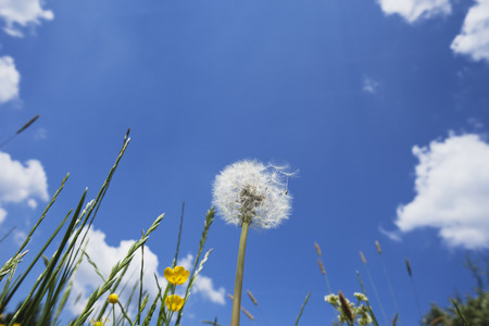 extreme angle: Germany, grasses and blowball in summer