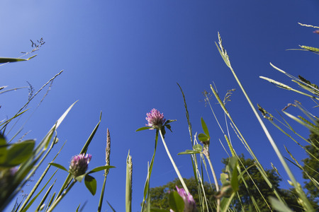 extreme angle: Germany, grasses and red clover in summer