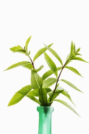 Verbena limone, Aloysia citrodora