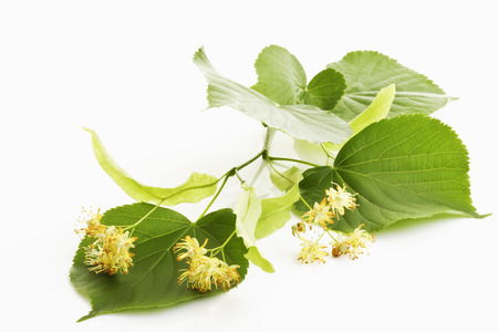 limetree: Lime-tree blossoms of Large Leaved Linden, leaves and blossoms