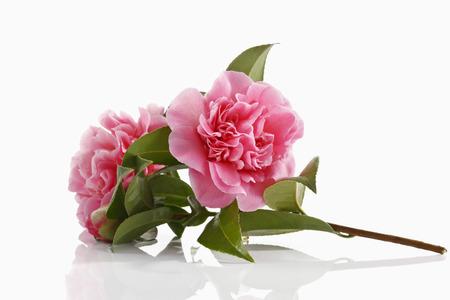 camellia japonica: Blossoms of camellia , Camellia japonica
