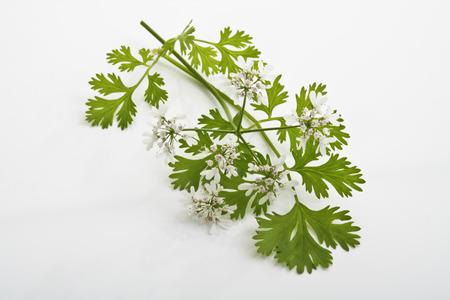 coriandrum sativum: Coriander, Coriandrum sativum