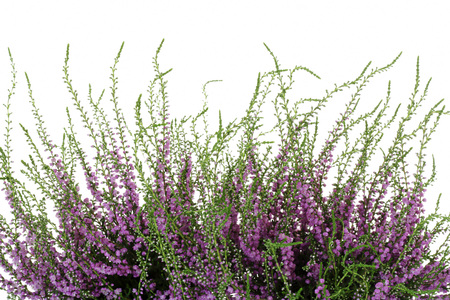 flores moradas: Heather, Calluna vulgaris