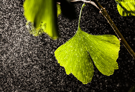 naturopathy: Ginkgo biloba leaves with water drops