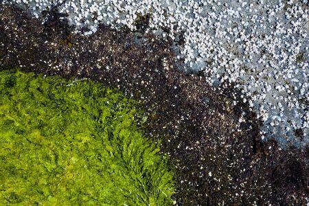 barnacles: Balani e alghe sul fondo del mare Archivio Fotografico