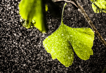 pharmaceutic: Ginkgo biloba leaves with water drops