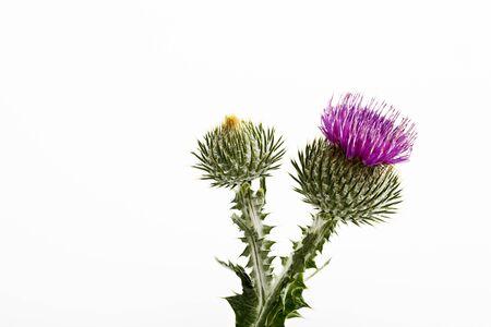 thistle: Cotton thistle, flower Stock Photo