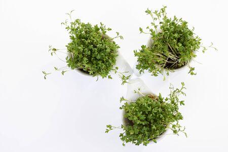 cress: Garden cress in bowls
