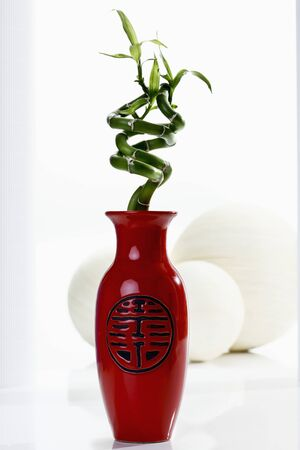 lucky bamboo: Red vase with lucky bamboo