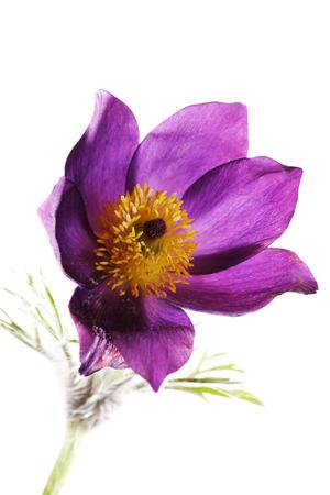 pulsatilla: Common pasque flower