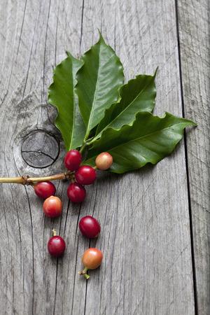 planta de cafe: Planta de caf�, Coffea arabica, hojas y frutas en madera Foto de archivo