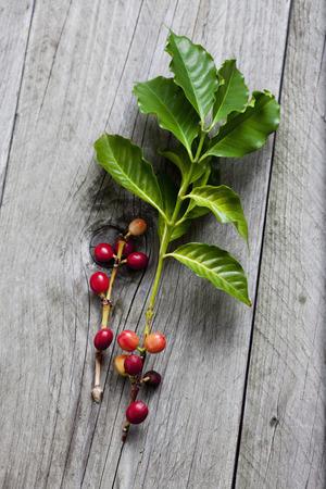 coffea: Coffee plant, Coffea arabica, leaves and fruits on wood