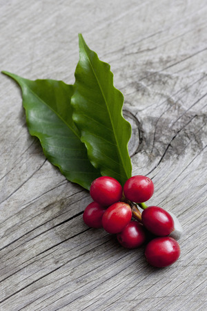 Coffee plant, Coffea arabica, leaves and fruits on wood