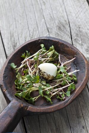quail egg: Boiled quail egg in nest, radish cress, sprouts in wooden bowl