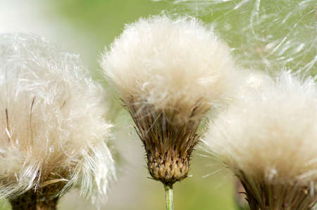 fragility: Common thistle, close-up