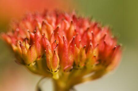 petasites hybridus: Common Butterbur (Petasites hybridus) Stock Photo